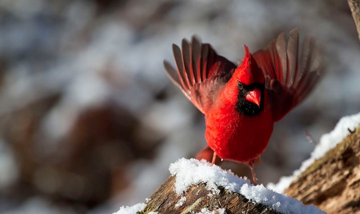 Male northern cardinal winter bird winter https://commons.wikimedia.org/wiki/File:Male_Northern_Cardinal_(9600060696).jpg