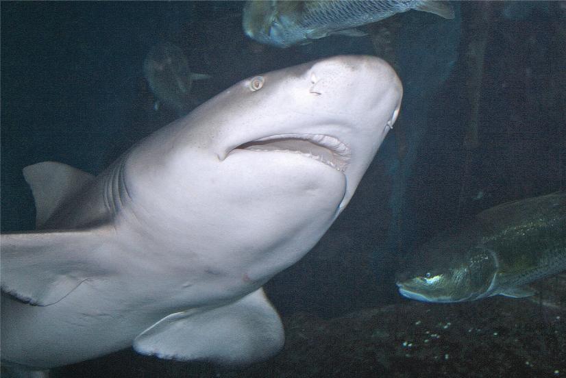 Sharks Shark Safari