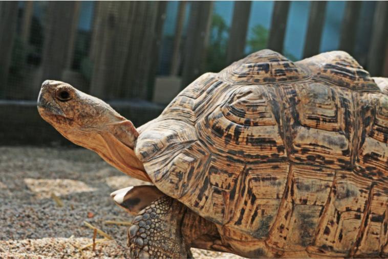 Tortoise Turtle Giant Turtle