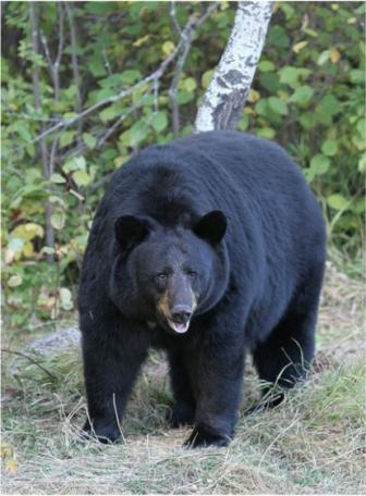 American Black Bear ursus americanus