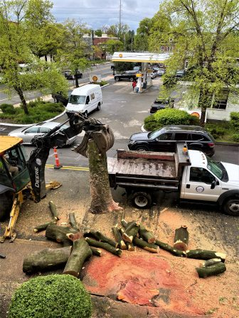 Sedgwick tree removed Friends of Animals