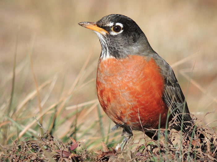 Bird American Robin