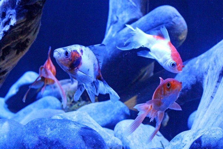 Goldfish exhibit one