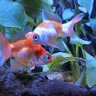 Butterfly-Tail Goldfish